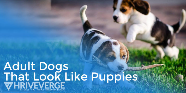 Dogs That Look Like Puppies
